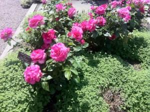 Roser uten sprøyting
