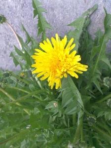 Løvetann - en flott nytteplante