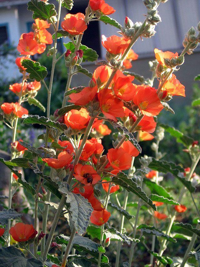 spaeralcea_ambigua_apricot_delight