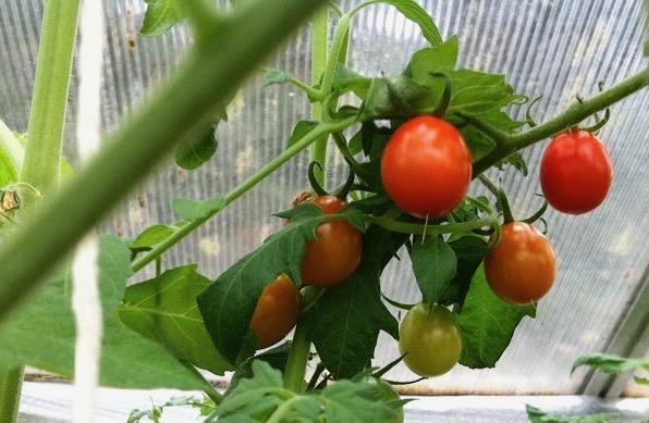 tomateridrivhus (1)
